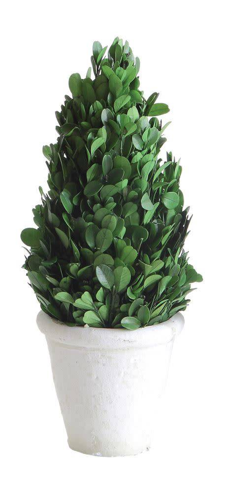 Round Preserved Boxwood Cone Topiary in Clay Pot