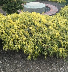 Chameacyparis pis. F. Aurea Cypress, Gold thread, #2