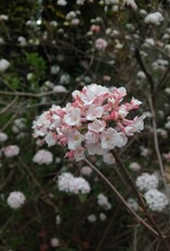Viburnum carlesii Viburnum - Korean Spice, #3