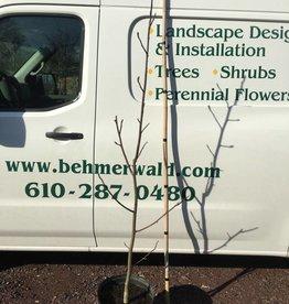 Magnolia x Pastel Sunset Magnolia - Hybrid, #7