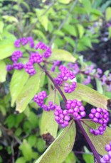 Callicarpa di. Early Amethyst Beautyberry, Early Amethyst, #3