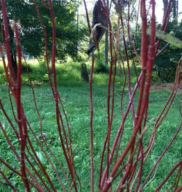Nativar Shrub Cornus stolon. Farrow Dogwood - Red Twig, Arctic Fire, #3