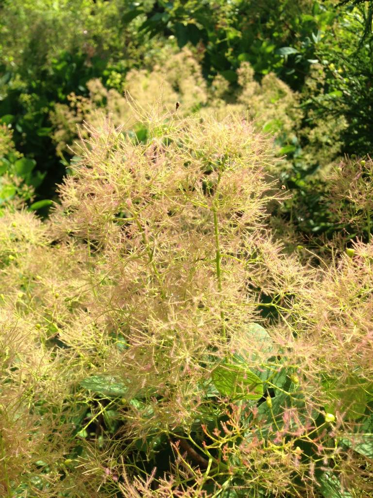 Cotinus x dummeri Grace Smokebush, Grace, #3