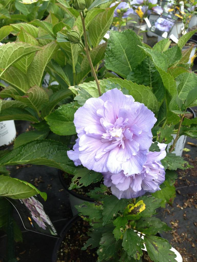 Hibiscus syr. hybrids Rose of Sharon,  #3