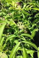 Sambucus can. York Elderberry, York, #3