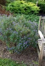 Caryopteris x clan. Minibleu Bluebeard, Petit Bleu, #2