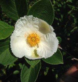 "Stewartia pseudocamellia Stewartia, Japanese, 2-2.5"""