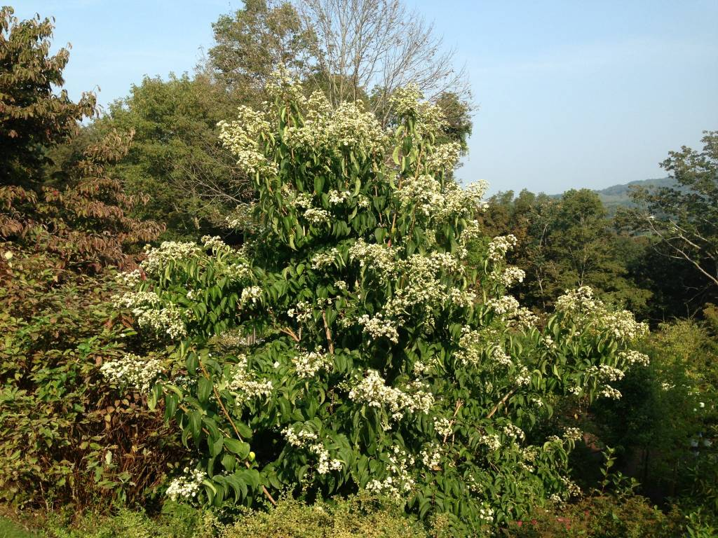 Heptacodium miconioides Seven-Son Flower, #15