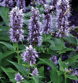 Agastache Blue Fortune, Hyssop Blue Fortune, #1