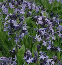 Amsonia x Blue Ice Blue Star, Blue Ice, #1