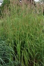 Andropogon gerardii Grass - Ornamental Big Bluestem, #1