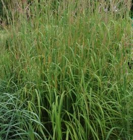 Andropogon gerardii Grass - Ornamental Big Bluestem, #1