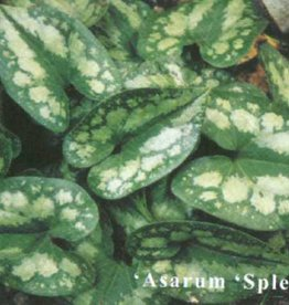 Asarum splendens, Ginger Chinese Wild, #1