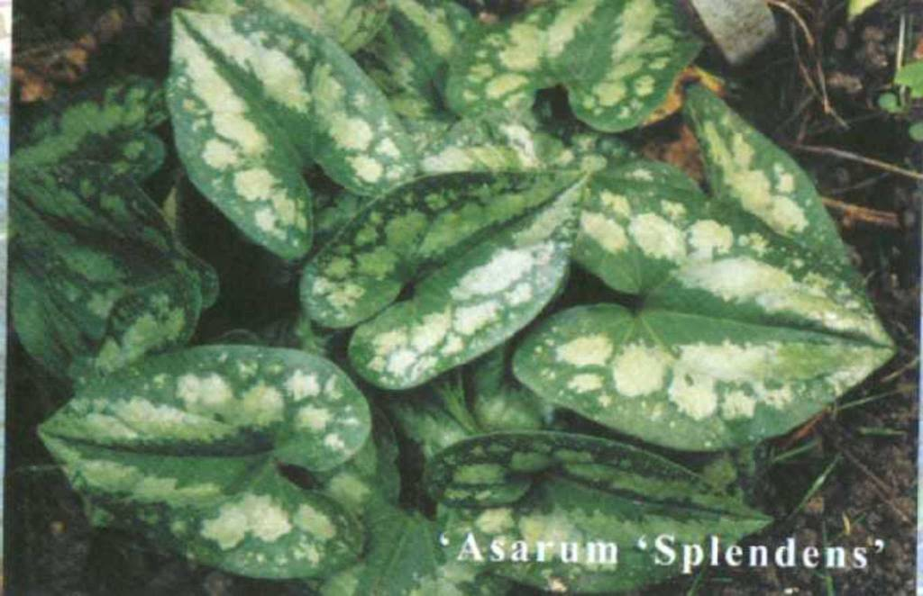 Asarum splendens, Ginger Chinese Wild, #1