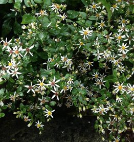 Labor Day Weekend sale Aster divaricatus Aster, White Wood, #1