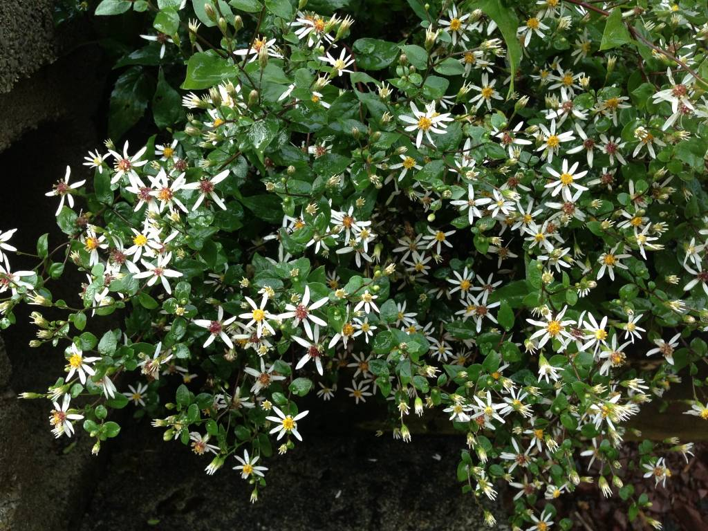 Aster divaricatus Aster, White Wood, #1