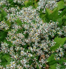Aster divaricatus Eastern Star Aster, White Wood - Eastern Star, #1