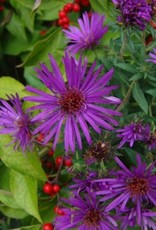 Labor Day Weekend sale Aster nov. Purple Dome Aster, Purple Dome, #1