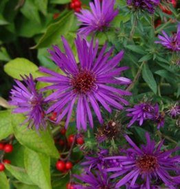 Aster nov. Purple Dome Aster, Purple Dome, #1