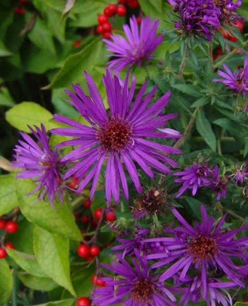 Aster nov. Purple Dome Aster, Purple Dome, #1