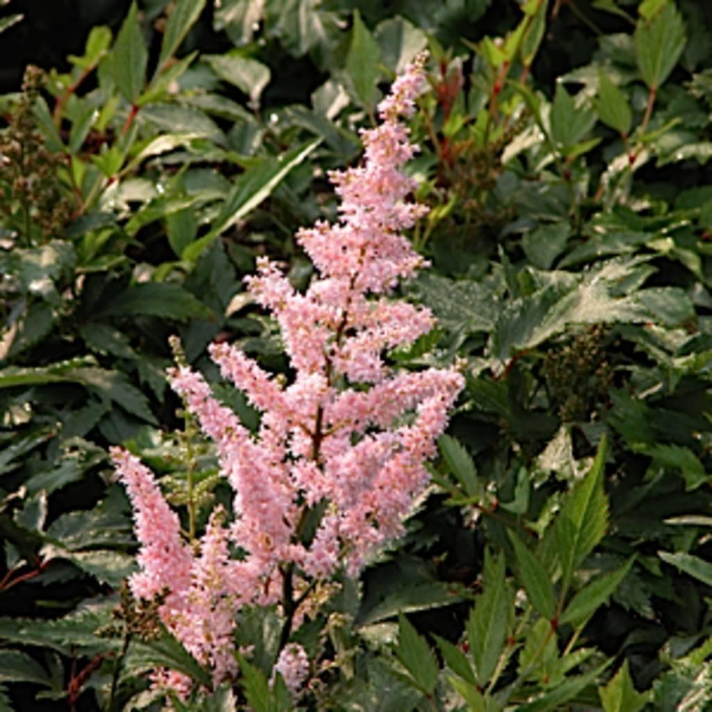 Astilbe x Peach Blossom Astilbe, Peach Blossom, #1