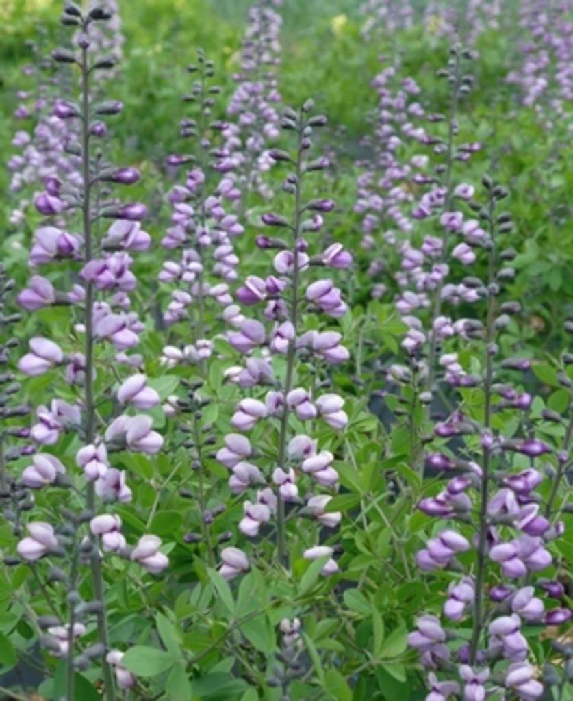 Baptisia australis Purple Smoke False Indigo, Purple Smoke, #1