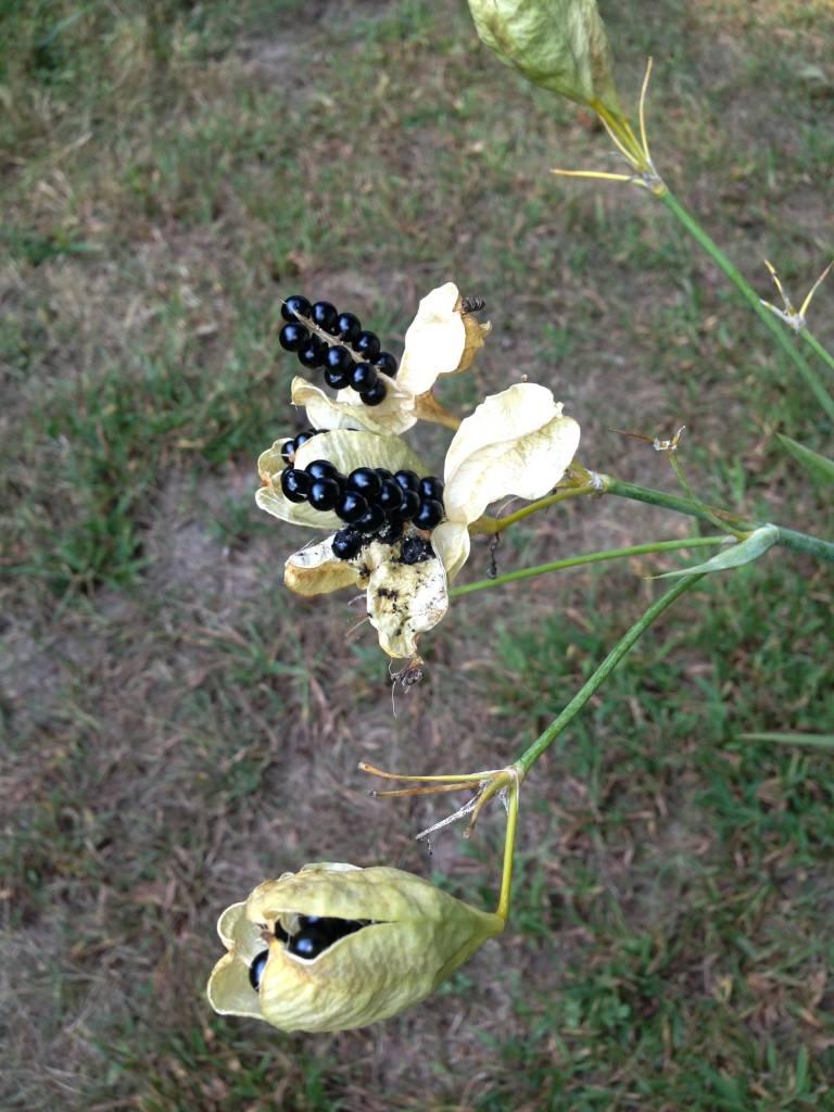 Belancanda chinensis Blackberry Lily, #1
