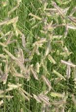 Bouteloua gracilis Grass - Ornamental Blue Grama, #1