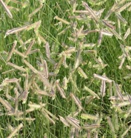 Bouteloua gracilis Grass - Ornamental Blue Grama, #1