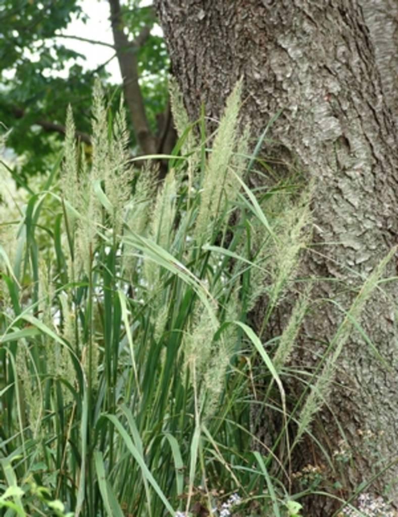 Calamagrostis brachytricha Grass -  Ornamental Feather Reed, #1