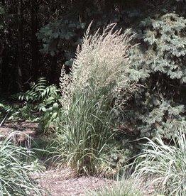 Calamagrostis Karl Foerster Grass - Ornamental Feather Reed, Karl Foerster, #3