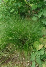 Carex appalachica Appalachian Sedge, #1