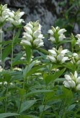 Chelone glabra Turtlehead, White, #1