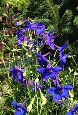 Delphinium Butterfly blue Larkspur, Butterfly Dwarf, #1