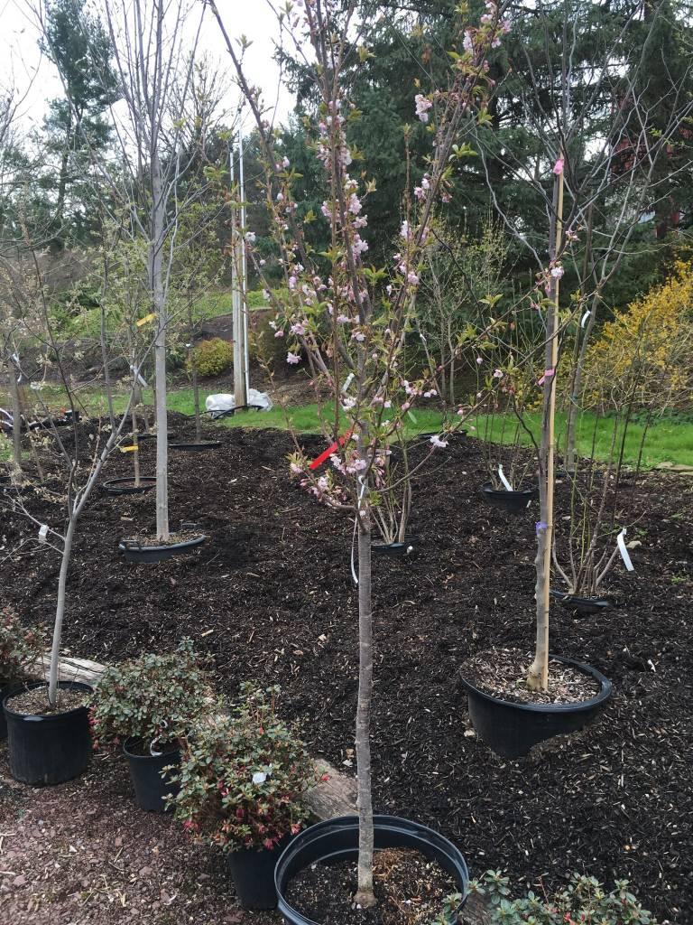 Prunus sub. Autumnalis Cherry - Higan, Autumn Flowering, #15