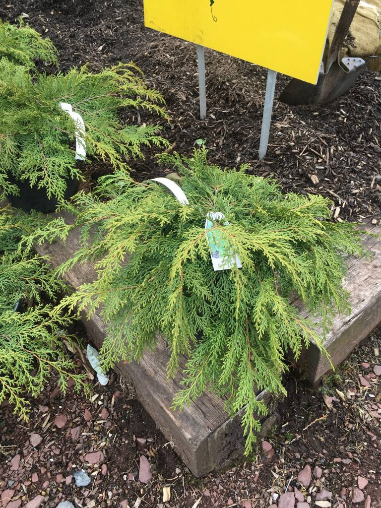 Microbiota dec., Russian Juniper