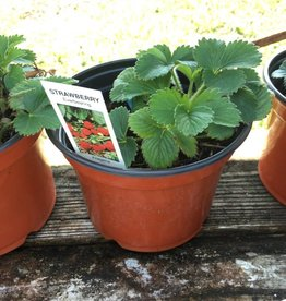 Fragaria sp. Strawberry , Edible, two quart
