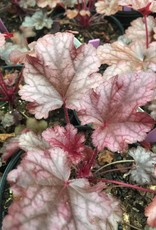 Heuchera Peach Flambe Coral Bells, Peach Flambe, #1