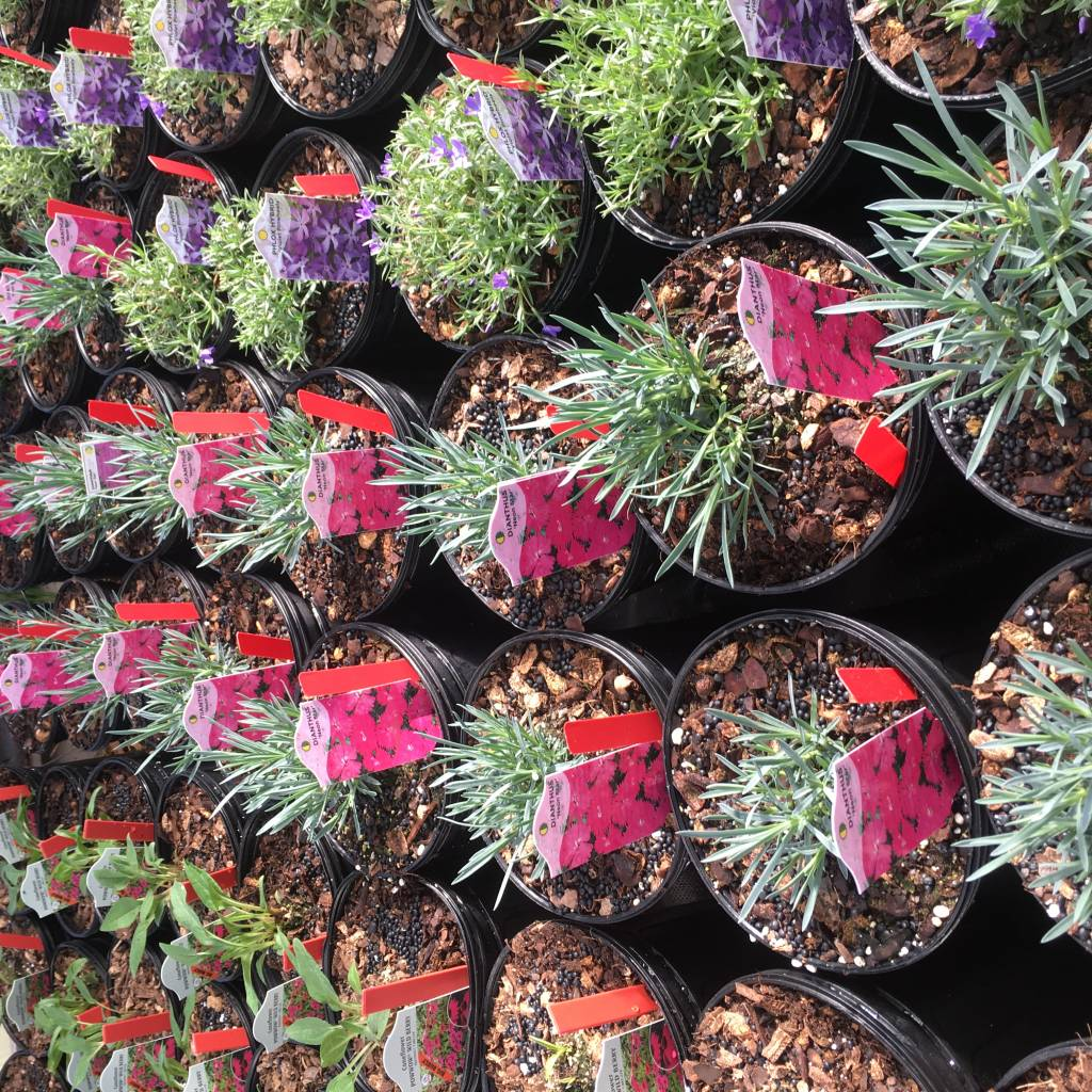 Dianthus Neon Star Cheddar Pinks, Neon Star, #1