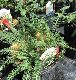 Achillea x Moon Dust ,Yarrow #1