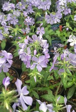 Phlox divaricata Blue Moon Phlox - Woodland, Blue Moon, #1