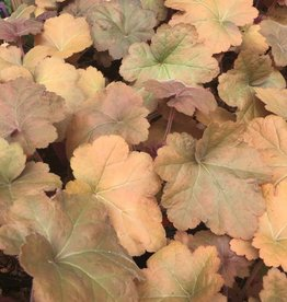 Heuchera x Southern Comfort Coral Bells, Southern Comfort, #1