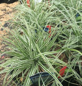 Carex osh. Everest Grass - Ornamental Evercolor sedge  #1