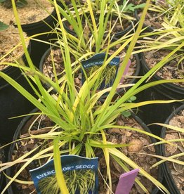 Carex osh. Everillo Grass - Ornamental Evercolor Sedge, #1