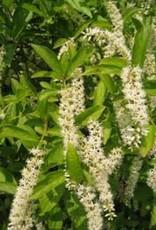 Itea virginica Sprich Sweetspire, Little Henry, #3