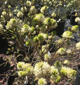 Fothergilla maj. Blue Shadow Fothergilla, Blue Shadow, #2