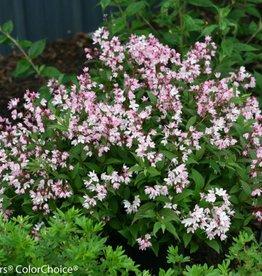 Deutzia Yuki Cherry Blossum, Duetzia #3