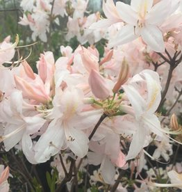 Azalea Exbury White Lights Azalea - Deciduous, Exbury Hybrid White Lights, #5