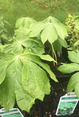 Podophyllum peltatum, Mayapple 2QT