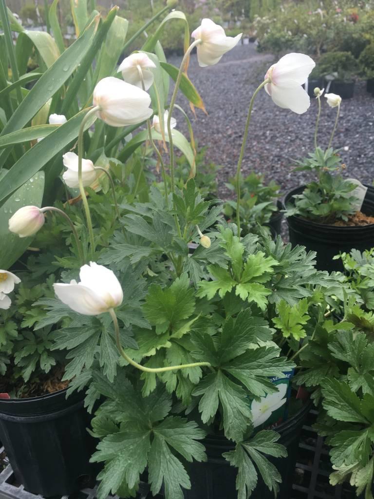 Anemone sylvestris Anemone, Snowdrop, #1